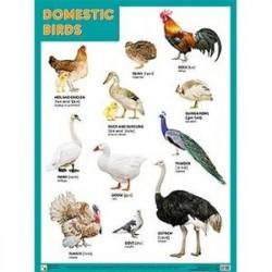 Плакат. Domestic Birds (Домашние птицы)